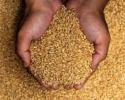 Софийска стокова борса: Прогноза за добра реколта и спад на цената на зърното
