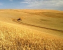Реколта: Катастрофа с рапицата, пролетници и пшеница вървят добре