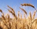Производството на пшеница в Турция ще надхвърли 22 млн. тона