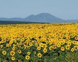Oil World повиши прогнозата си за световната реколта от маслодайни култури